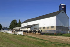 Wisconsin Dairy Farm. Clean and neat central Wisconsin dairy cattle at feeding time Royalty Free Stock Photo