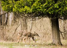 Wisconsin Deer Foraging for food in early spring. Two Deer Foraging through Harrington Beach State Park in Belgium Wisconsin side by side stock image