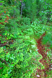 Wisconsin Fern Forest Landscape Royalty Free Stock Photography
