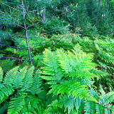 Wisconsin Fern Forest Landscape. Ferns grow in the understory of a vivid green northwoods forest in Wisconsin royalty free stock image