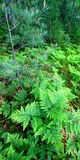 Wisconsin Fern Woodland Landscape Royalty Free Stock Photography