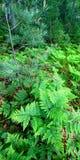 Wisconsin Fern Woodland Landscape Royalty Free Stock Photography