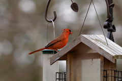 Wisconsin Male Cardinal. A male Cardinal perched on a bird feeding on a spring day in Wisconsin stock photos