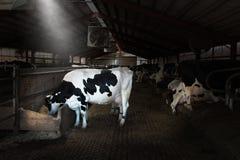 Wisconsin mejerilantgård, ko, kor royaltyfri foto