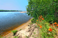 Wisconsin River Landscape Portage. Orange daylilies grow along the shoreline of the Wisconsin River near the town of Portage royalty free stock photo