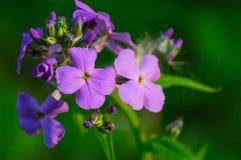 Wisconsin Wild Flower stock photo