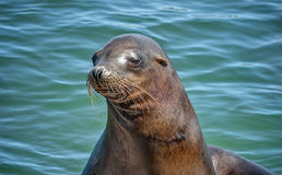 Wise Looking California Sea Lion Royalty Free Stock Photo