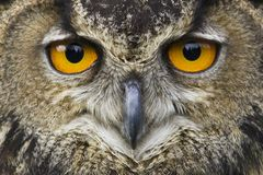 Wisdom staring. A closeup of an owl staring at you Stock Image
