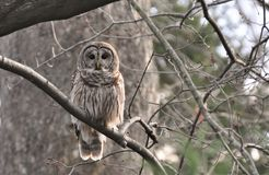 Wise Bard Owl. A Bard Owl perched in the forest Stock Images