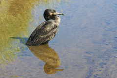 The wise Cormorant. An old cormorant reflects on the meaning of life... calm and serenity emanates from this large bird, at peace, and resting in the water of a royalty free stock images
