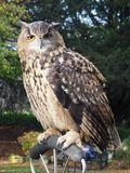Portrait of an Eagle Owl. A wise Eagle Owl staring intently Royalty Free Stock Image