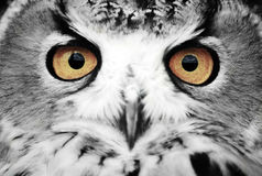 Wise Eyes. The wise eyes of an eagle owl