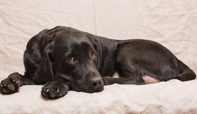 Wise a female dog Royalty Free Stock Photo