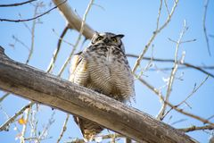 Wise Great Horned Owl In A Tree Royalty Free Stock Images