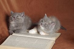 Wise kitten cat students. A couple of british shorthair kittens with a book Royalty Free Stock Photography