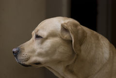 Wise Labrador Royalty Free Stock Image