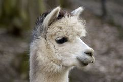 Wise Lama's smile. Royalty Free Stock Image