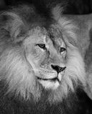 Wise lion Stock Photography