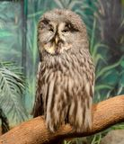 Wise looking owl. A wise looking owl full size with a long coat of feathers which covers its feet Royalty Free Stock Photo