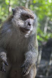 Wise monkey in Malaysian jungle Stock Photography