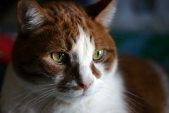 Wise old cat. Natural light white and orange cat portrait Royalty Free Stock Images