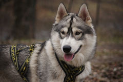Wise Old Dog Sled Royalty Free Stock Photography