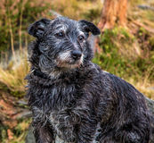 Wise Old Dog. Terrier in balck and white Stock Photos