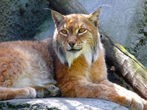 Wise old lynx Royalty Free Stock Photography