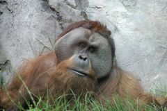 Wise old orangutan Royalty Free Stock Photo