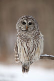 Wise Old Owl. Closeup of a curious Barred Owl against a blurred winter background Stock Images