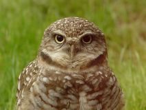 Wise Old Owl. Owl with big eyes Royalty Free Stock Image