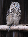 Wise owl Stock Photography