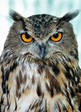 Wise owl. Close up of an owl looking straight into the lens Stock Photos