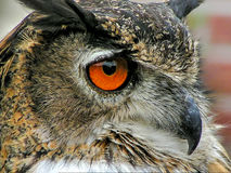 Wise Owl. Is looking into the world with wisdom Royalty Free Stock Images