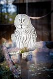 A wise owl sitting in a cage staring stock photography