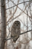 Wise Owl in Tree. A Barred owl listens for movement beneath the snow stock photo