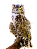 Wise Owl on White Background. Owl perched on glove, white background Stock Images