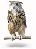 Wise owl on a wooden bark with shadow isolated Stock Photos