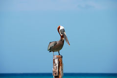 Wise Pelican. Pelicans seem to have unique facial expressions. This bird sat confidently amongst its neighbor's turmoil during a challenge of territorial Stock Photo