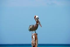 Wise Pelican stock photo