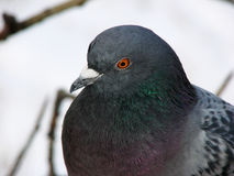 Wise Pigeon Royalty Free Stock Photo