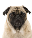 Wise Pug. Isolated Against White Background Royalty Free Stock Image