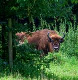 Wisent Obrazy Royalty Free