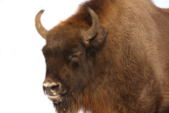 Wisent Royalty Free Stock Photos
