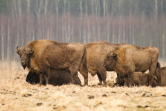Wisent. European Bison (Wisent), Bialowieza Forest, Poland Stock Photography