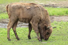 Wisent Stock Images