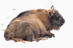 Wisent. The wisent lying in snow Royalty Free Stock Images