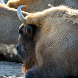 Wisent, also know as European bison Bison bonasus with steamy breath on a cold morning. Royalty Free Stock Image