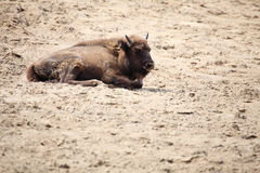 Wisent animal European bison, Poland Stock Images