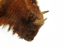 Wisent (Bison bonasus) Stock Images